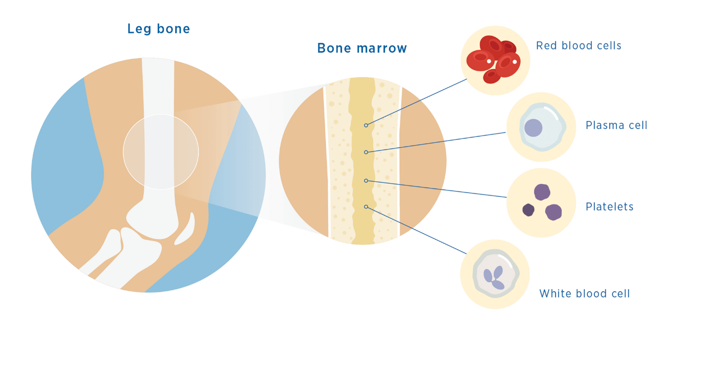 Types of cells your bone marrow produces: red blood cells, plasma cell, platelets, white blood cells